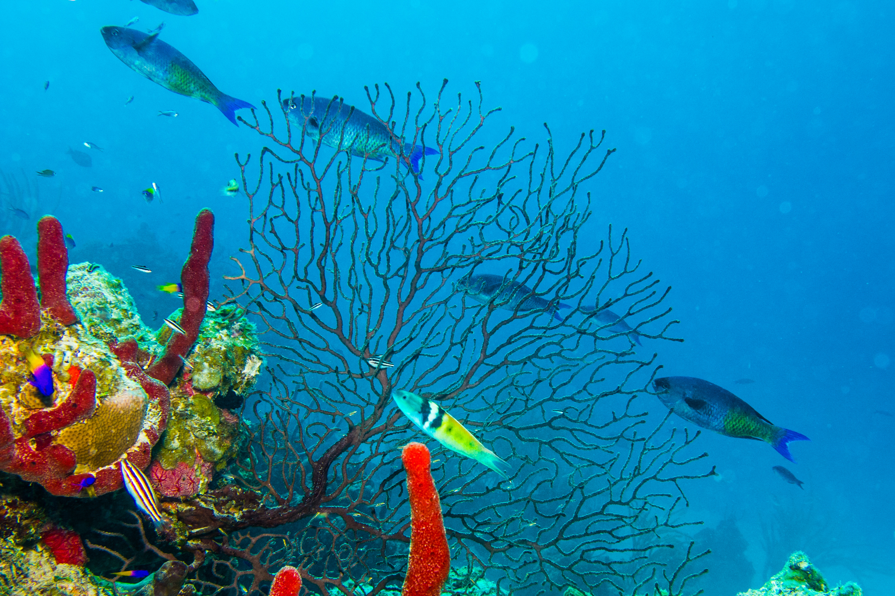 An underwater view of gorgonian in the Caribbean Sea